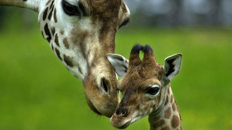 08-girafas