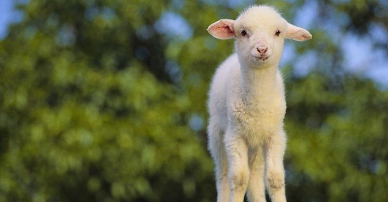 24-ovelha