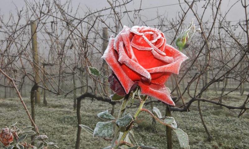 09-rosa_congelada