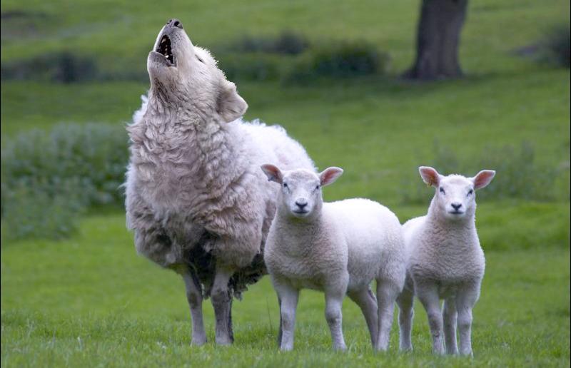 21-lobo_ovelha