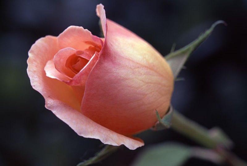 04-rosa