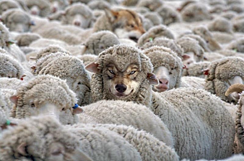 16-lobo_ovelha