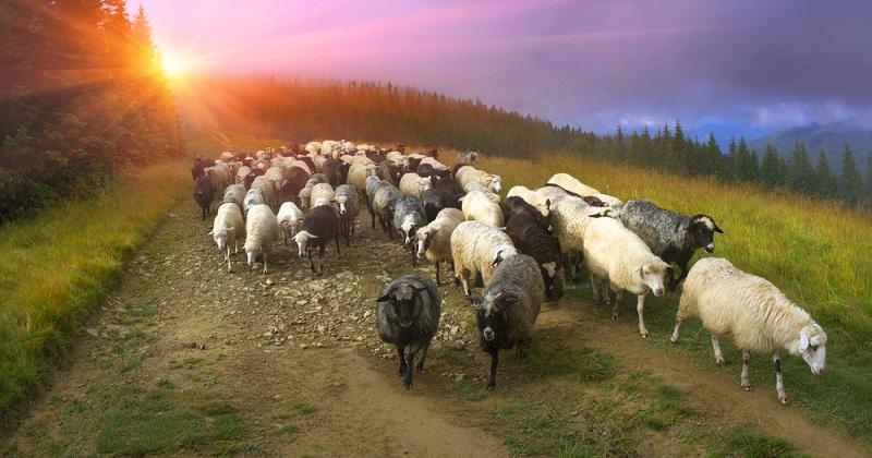 27-ovelhas